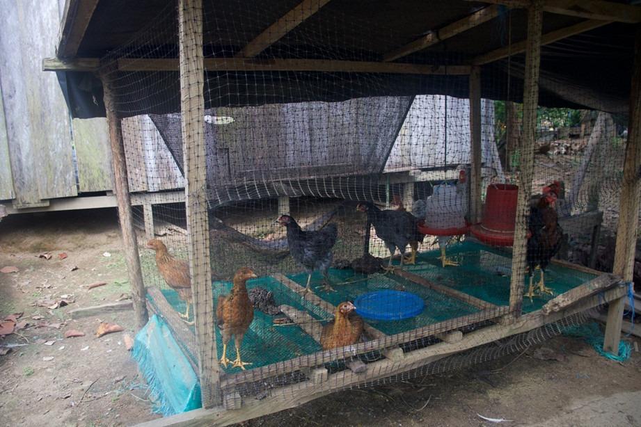 brisas gallinas Brisas necesita tierras para seguir avanzando en su apuesta de paz integral